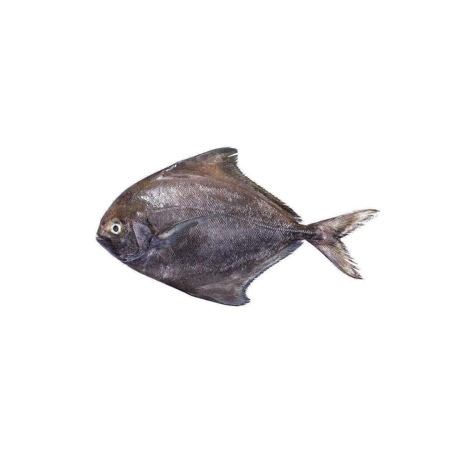 حلوا-سیاه